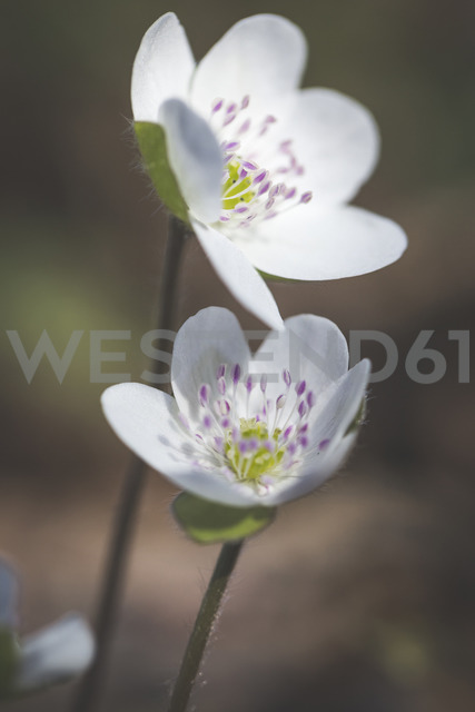 Two blossoms of white Liverworts, close-up - ASCF00848