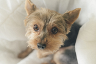 Portrait of yorkshire terrier sitting on dog pillow - SKCF00429
