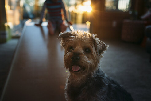 Portrait of Yorkshire Terrier at home with boy in background - CAVF43488