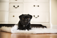 Portrait of black pug relaxing on rug at home - CAVF43605