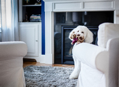 Portrait of dog carrying teddy bear in mouth while sitting on carpet at home - CAVF43737