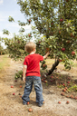Rear view of boy picking apples in orchard - CAVF43788