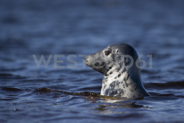 Scotland, Grey seal swimming - MJOF01490