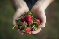 Overhead view of woman holding freshly harvested strawberries in cupped hands - CAVF46256