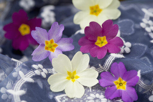 Blossoms of primroses on floral patterned cloth - CRF02790