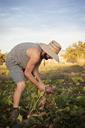 Side view of male farmer harvesting beetroots on field - CAVF47443