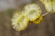 Male flowering pussy willow, Salix caprea - SIEF07759
