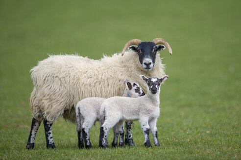Three sheeps on a meadow - MJOF01494