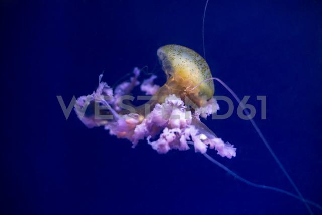 Jellyfish - FCF01370