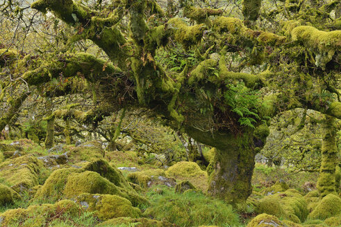 United Kingdom, England, Dartmoor National Park, Trees and granite boulders are overgrown with moss - RUEF01861