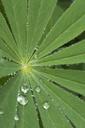 Raindrops on leaf - CRF02792