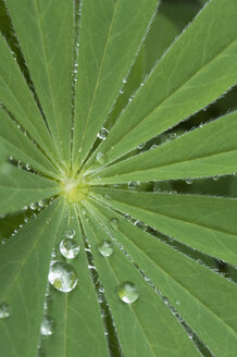 Raindrops on leaf - CRF02792