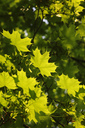 Germany, maple tree, maple leaves - JTF00991