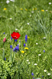 Meadow with tulip, wild hyacinth, daisy and dandelion in spring - NDF00751