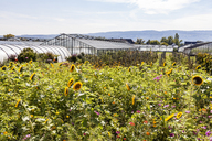 Germany, Constance district, Reichenau Island, greenhouses and sunflowers in the foreground - WD04637
