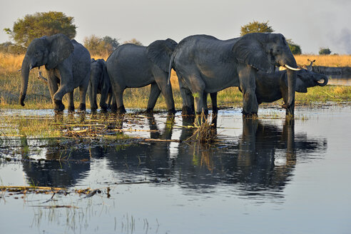 Africa, Namibia, Bwabwata National Park, Kwando river, herd of elephants, Loxodonta africana - ESF01634