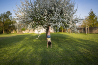 Back view of girl doing handstand in garden in front of blossoming apple tree - LVF06930