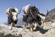 Nepal, Solo Khumbu, Everest, Chukkung, Yaks carrying provisions - ALRF01083