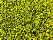 Germany, Hesse, Wetterau, flowering rape field, rape blossoms - AMF05706