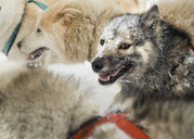 Greenland, huskies - ALRF01207