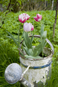 Germany, Hamburg, Altes Land, tulips in rusty watering can in garden - GISF00334