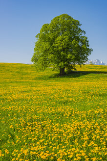 Germany, Bavaria, Fuessen, flowering meadow with dandelions and common oak - WGF01181