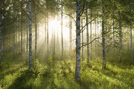 Sunlight in forest of birch trees - ISF00319