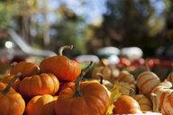 Pumpkins - ISF00499