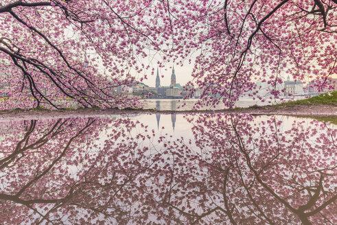 Germany, Hamburg, Germany, Hamburg, blossoming cherry tree at Binnenalster, water reflections of town hall and St. Nicholas' Church - KEBF00821