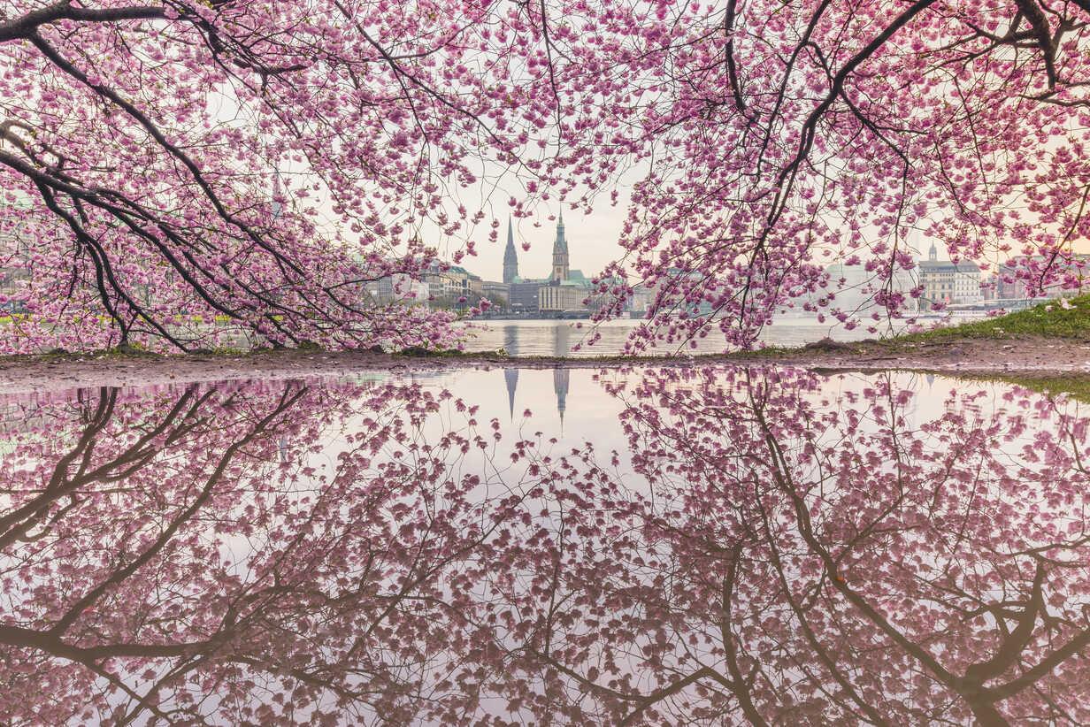 Germany, Hamburg, Germany, Hamburg, blossoming cherry tree at Binnenalster, water reflections of town hall and St. Nicholas' Church - KEBF00821 - Kerstin Bittner/Westend61