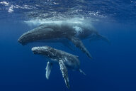 Humpback whale (Megaptera novaeangliae) and calf in the waters of Tonga - CUF03586