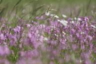 Ragged Robins and White Marguerites on a wet meadow - ASCF00868