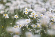 White marguerites on a wet meadow - ASCF00871