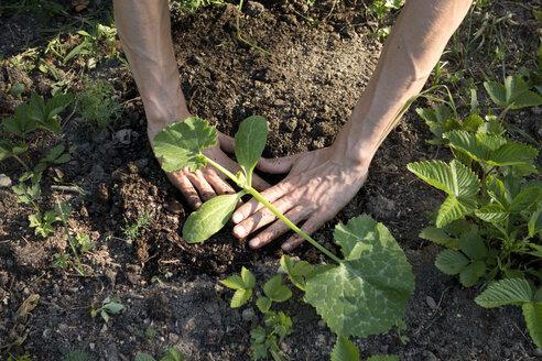 Organic garden, gardener planting a pumpkin plant - NDF00757