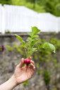 Gardener holding organic red radish - NDF00763