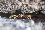 Close-up of crab hiding in rocks, Durban, South Africa - CUF09394