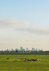 Sheep grazing in field, Rotterdam, South Holland, Netherlands, Europe - CUF09424