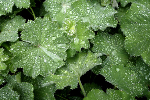 Raindrops on leaves of lady's mantle - NDF00765