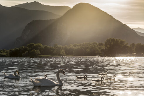 Family of swans swimming on Lake Maggiore at sunset, Piemonte, Italy - ISF03461