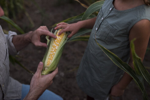 Father showing daughter freshly picked corn, mid section - ISF03779