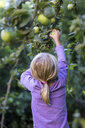 Back view of little girl picking apple from tree - JFEF00863