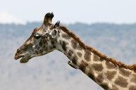 Masai Giraffe (Giraffa camelopardalis), Masai Mara, Kenya - ISF05787