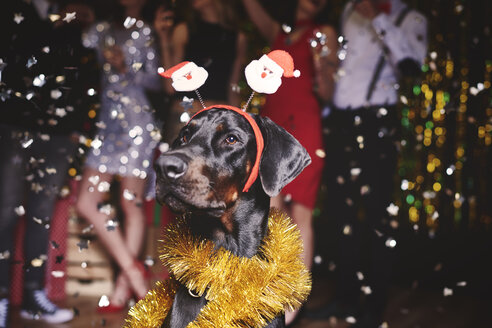 Portrait of dog at party wearing santa deely boppers, group of people dancing in background - ISF05805