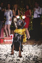 Portrait of dog at party wearing santa deely boppers, group of people dancing in background - ISF06255