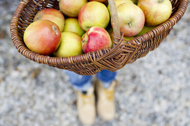 Basket full of homegrown apples, high angle - CUF13823