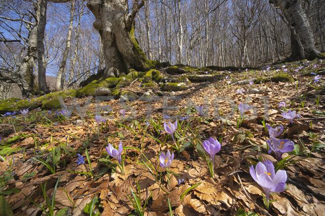 Italy, Umbria, Monte Catria, Crocus in early spring in Apennines - LOMF00716
