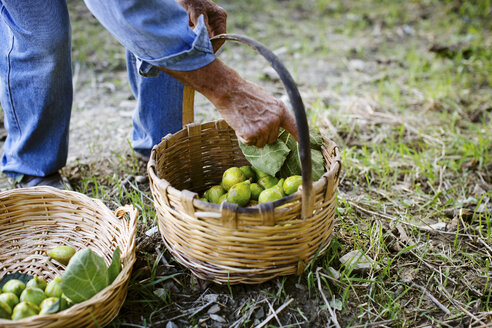 Cropped shot of senior man traditionally harvesting green figs into baskets, Italy - CUF15073