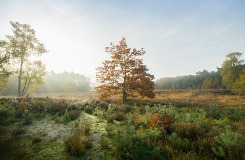 Field with heather between woods on autumn morning, Wouw, Netherlands - CUF15556