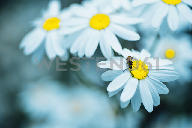 Close-up of Chamomile flowers - MJF02265