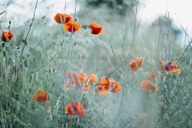 Poppy field - MJF02301
